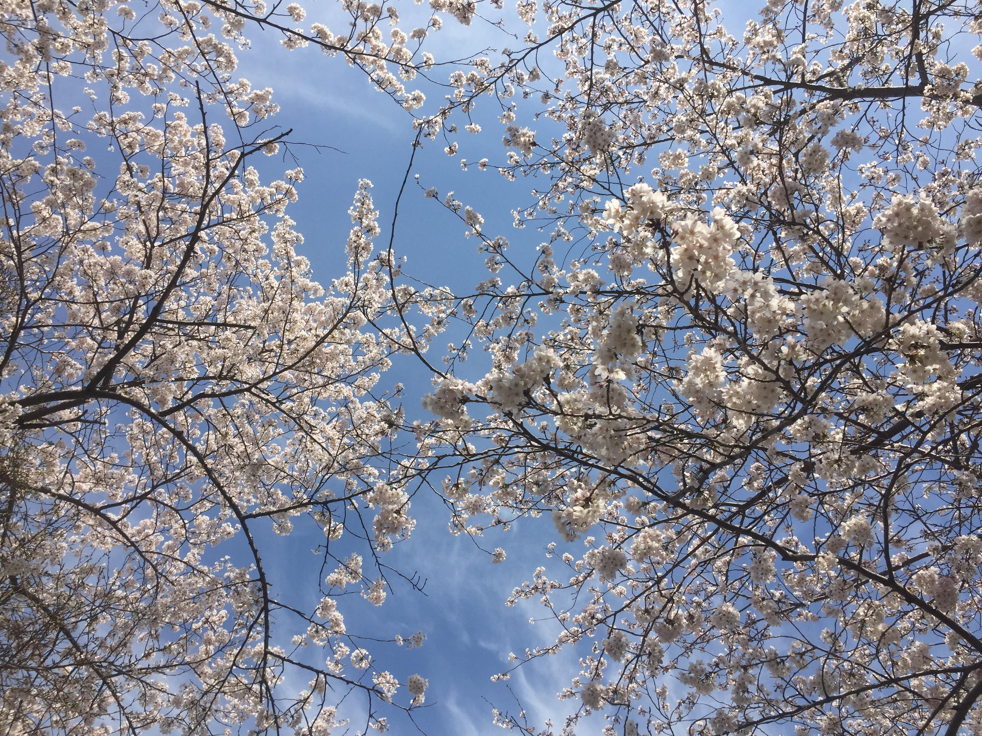 桜満開ですね🌸